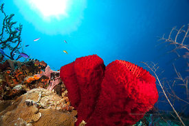 Cluster of strawberry vase sponges on San Francisco Wall divesite, Cozumel, Mexico.