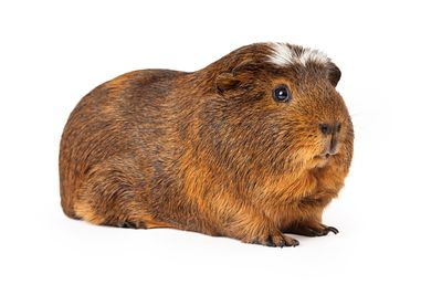 Peruvian Guinea Pig Sitting to Side
