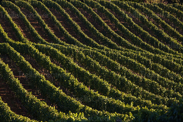 Beatiful green vines creating patterns over the hill