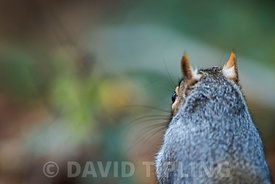 Grey squirrel Sciurus carolinensis Norfolk autumn