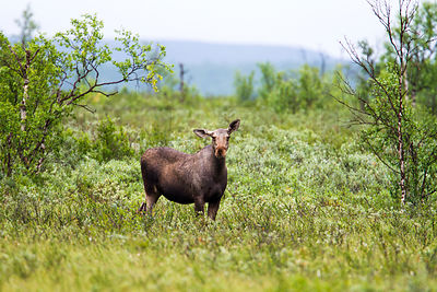 Female Elk / Moose
