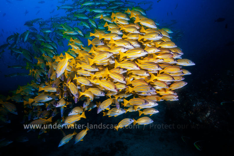 Bluestripe Snapper - Mozambique