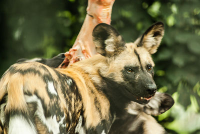 African wild dog looking back