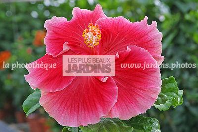 interesting hibiscus x ketmie rose de chine china rose with hibiscus de jardin persistant. Black Bedroom Furniture Sets. Home Design Ideas