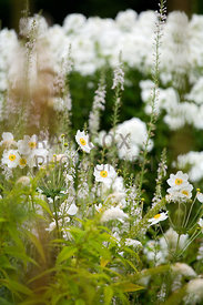 Anemonies in white-themed corner of Ruth's Garden