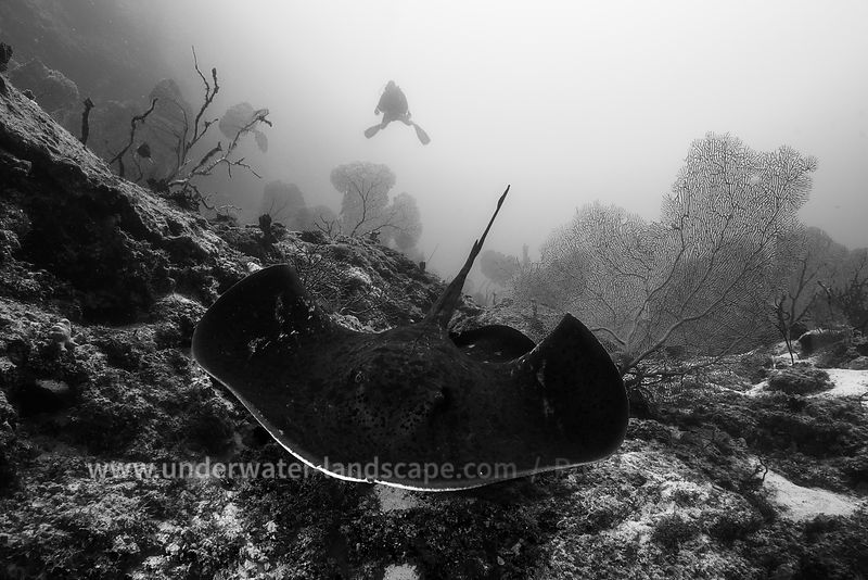 Black-blotched ray and diver