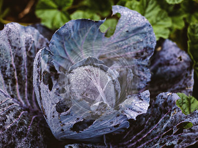 Red cabbage in a field