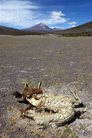 Dead llama (Lama glama) and dry altiplano desert, Isluga National Park , Region I , Chile