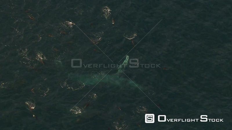 Aerial view of Southern Right Whales and Common Dolphin swimming off the coast of the Western Cape. Western Cape South Africa