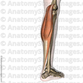 lowerleg-musculus-triceps-surae-achilles-tendon-calf-muscle-gastrocnemius-mediale-laterale-soleus-tuber-calcanei-side-skin