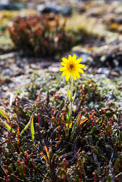 Rare Alpine Arnica is endangered in Finland