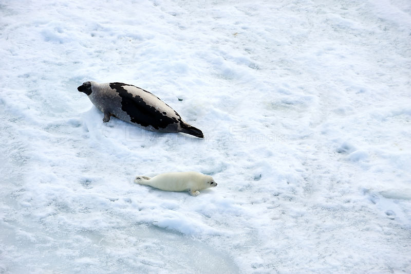 Aerial view of Harp seal (Phoca groenlandicus) female and pup hauled out on sea ice, Magdalen Islands, Gulf of St Lawrence, Quebec, Canada, March 2012