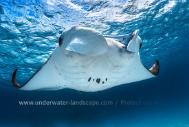 Manta Ray in the mayotte lagoon- Devil ray over the surface