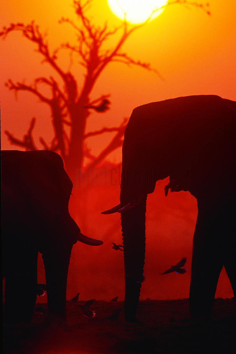 Elephants Silhouette at Sunset