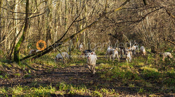 Cottesmore fox hounds run to camera in Owston Wood