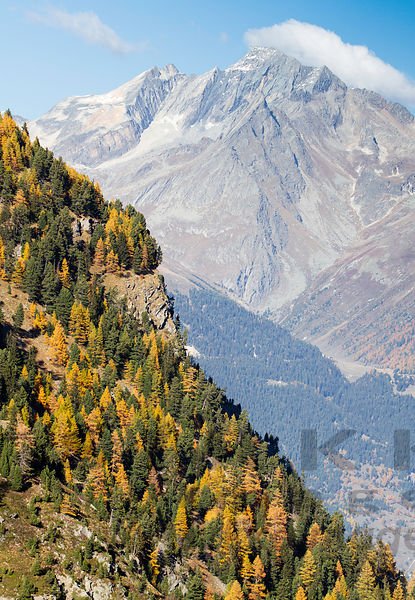 Common larch and autumn colors