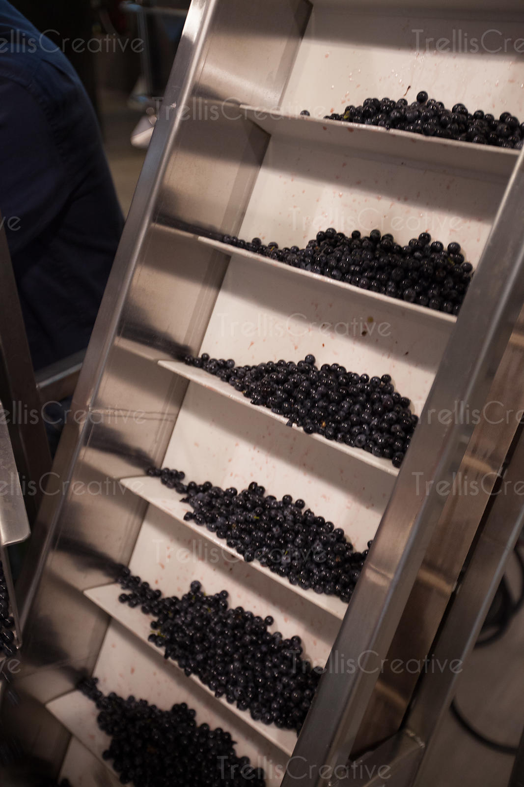 Wine grape berries on conveyor ready to be crushed
