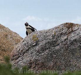 African Penguin (Spheniscus demersus) at Boulders, Table Mountain National Park, South Africa; Landscape