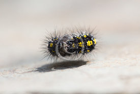 Scarlet Tiger Moth Caterpillar