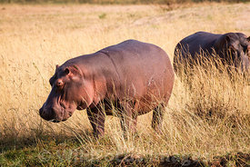 Hippopotamus (Hippopotamus amphibius) at Mana Mouth, Mana Pools National Park, Zimbabwe; Landscape