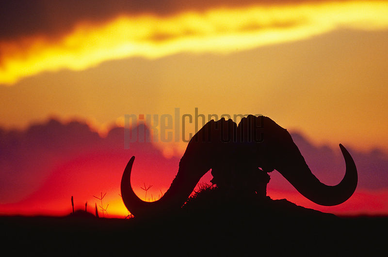 African Buffalo Skull Silhouetted against Sunset