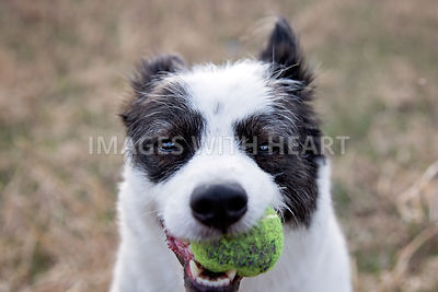 Mixed breed with ball