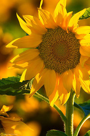 Summer Sunflower #6