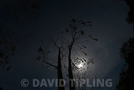 Chestnut;headed Oropendola nests in moonlight at Canopy Camp in the Darién Panama