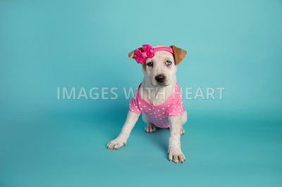 female puppy in pink headband and onesie on turquoise paper