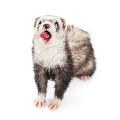 Funny Ferret Open Mouth Tongue Out