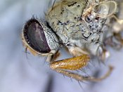 FLY: extreme close-up of the head of a housefly #1
