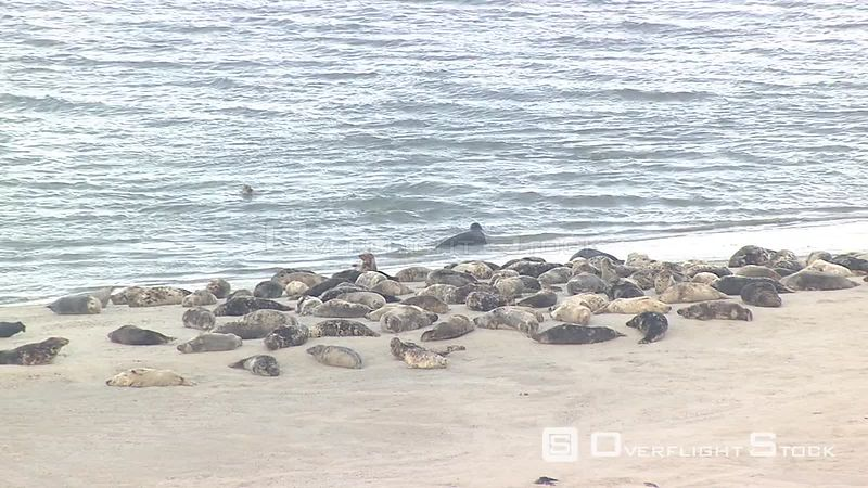 Seals on a beach Waddenzee Netherlands
