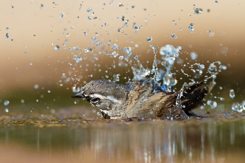 Olive Sparrow Bathing