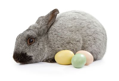 Gray Rabbit Isolated on White With Easter Eggs
