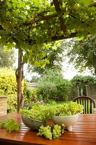 Grapes in bowls on Garden Table with the Garden Vine above over a Pergola