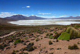 View over Salar de Surire, yareta plant ( Azorella compacta ) in foreground , Region XV , Chile