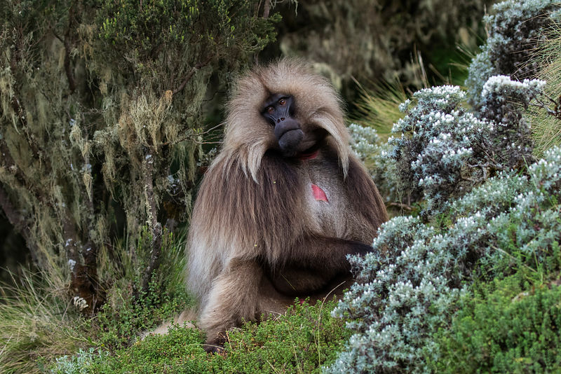 Portrait of an Adult Male Gelada Baboon