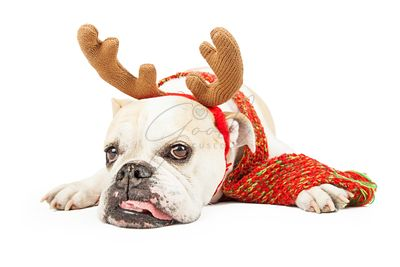 Tired Bulldog Dressed As A Christmas Reindeer
