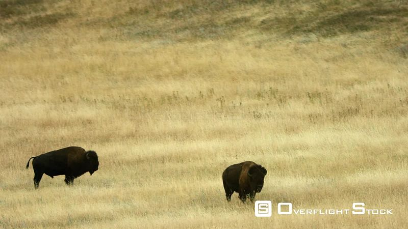 A pair of American bison graze the autumn grass in the foothills of the Spanish Peaks near Bozeman, Montana
