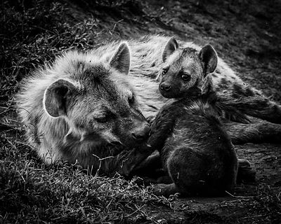 5225-Baby_hyena_with_mother_Laurent_Baheux
