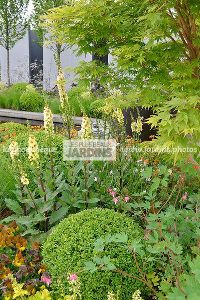 la phototh que les plus beaux jardins massif fleuri verbascum 39 gainsborough 39 mol ne et. Black Bedroom Furniture Sets. Home Design Ideas