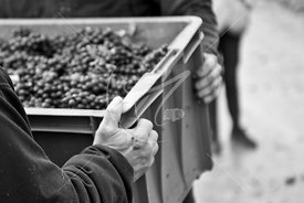 Lassalle-vendanges13_MKB8431
