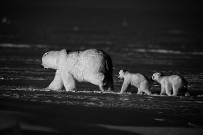 Two polar cubs followings their mother on the black ice, Baffin Island Canada 2016 © Laurent Baheux