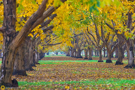 Walnut Orchards in Fall #9