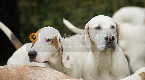 Quorn hounds - The Quorn Hunt at John O' Gaunt 9/11/12
