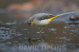 Grey Wagtail Motacilla cinerea female  looking at own reflection in ice Norfolk winter