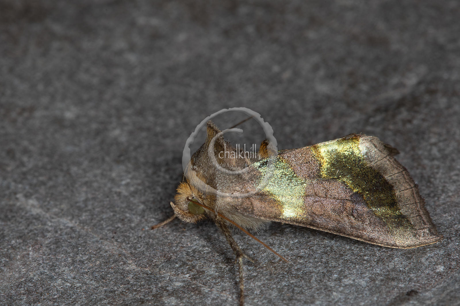 [Diachrysia chrysitis [73.012] Burnished Brass]-[GBR-Flatford Mill]