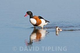 A male Common Shelduck,  Tadorna tadorna escorts a straggling chick across the scrape at Cley Norfolk Wildlife Trust Reserve, North Norfolk UK