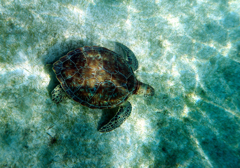 Green sea turtle (Chelonia mydas) swimming over seagrass, Akumal, Mexico
