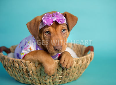 female puppy in onesie and headband in basket on turquoise paper